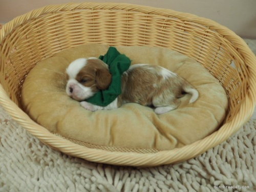 キャバリアの子犬(ID:1255511340)の3枚目の写真/更新日:2019-11-18