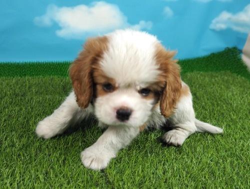 キャバリアの子犬(ID:1255511340)の5枚目の写真/更新日:2021-04-15