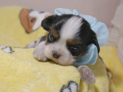 キャバリアの子犬(ID:1255511341)の1枚目の写真/更新日:2017-12-29