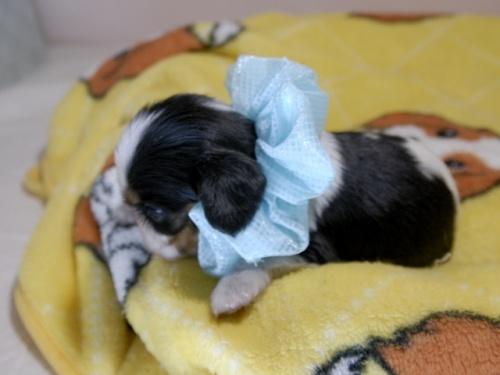 キャバリアの子犬(ID:1255511341)の3枚目の写真/更新日:2017-12-29
