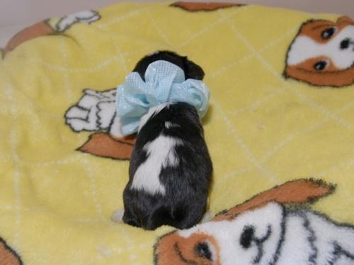 キャバリアの子犬(ID:1255511341)の4枚目の写真/更新日:2017-12-29