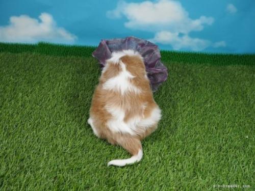 キャバリアの子犬(ID:1255511342)の4枚目の写真/更新日:2019-03-22