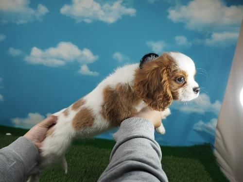 キャバリアの子犬(ID:1255511343)の2枚目の写真/更新日:2017-12-29