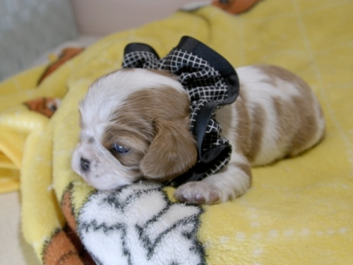 キャバリアの子犬(ID:1255511343)の3枚目の写真/更新日:2019-03-22