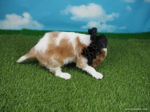 キャバリアの子犬(ID:1255511344)の2枚目の写真/更新日:2018-01-08