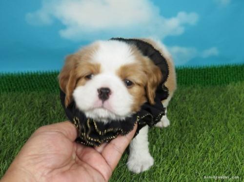 キャバリアの子犬(ID:1255511344)の5枚目の写真/更新日:2019-03-22