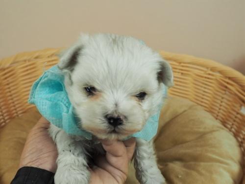 マルチーズの子犬(ID:1255511345)の1枚目の写真/更新日:2021-04-05