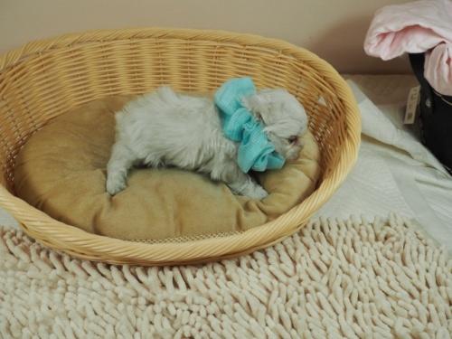 マルチーズの子犬(ID:1255511345)の2枚目の写真/更新日:2021-04-05