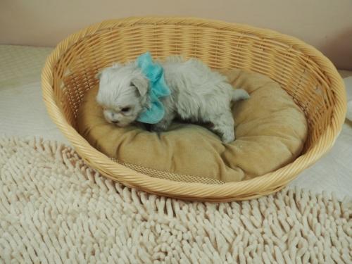 マルチーズの子犬(ID:1255511345)の3枚目の写真/更新日:2021-04-05