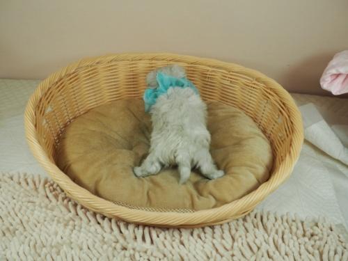 マルチーズの子犬(ID:1255511345)の4枚目の写真/更新日:2021-04-05