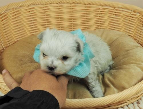 マルチーズの子犬(ID:1255511345)の5枚目の写真/更新日:2021-04-05