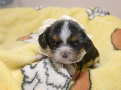 キャバリアの子犬(ID:1255511346)の1枚目の写真/更新日:2018-01-12