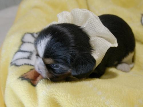 キャバリアの子犬(ID:1255511346)の3枚目の写真/更新日:2018-10-08