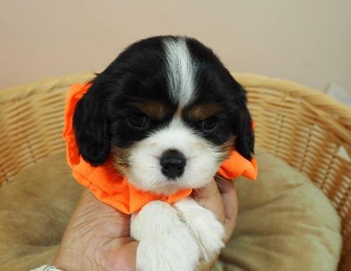 キャバリアの子犬(ID:1255511347)の1枚目の写真/更新日:2018-01-12