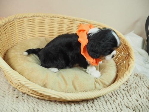 キャバリアの子犬(ID:1255511347)の2枚目の写真/更新日:2018-01-12