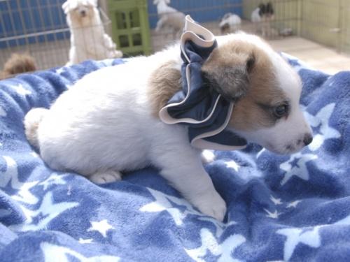 ジャックラッセルテリアの子犬(ID:1255511349)の2枚目の写真/更新日:2018-05-28