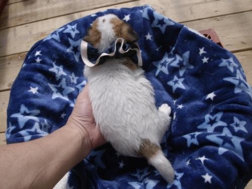 ジャックラッセルテリアの子犬(ID:1255511349)の4枚目の写真/更新日:2018-05-28