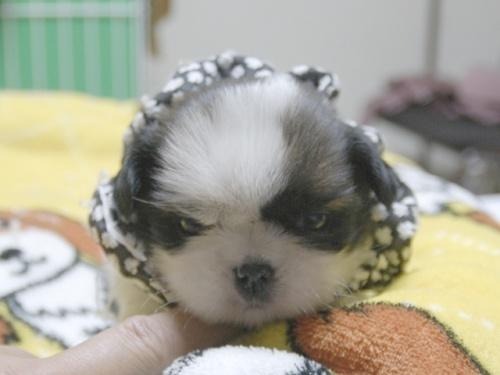 シーズーの子犬(ID:1255511351)の1枚目の写真/更新日:2018-01-22