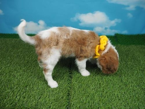 キャバリアの子犬(ID:1255511352)の2枚目の写真/更新日:2018-01-22