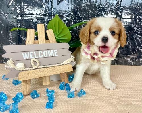 キャバリアの子犬(ID:1255511353)の5枚目の写真/更新日:2021-05-13