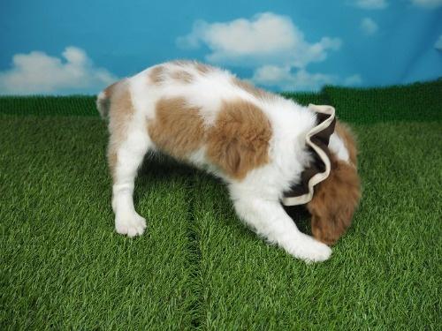 キャバリアの子犬(ID:1255511354)の2枚目の写真/更新日:2018-01-22