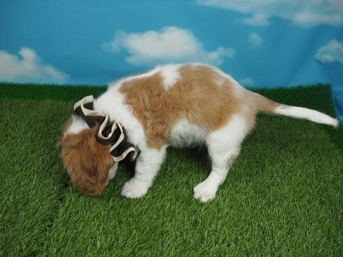キャバリアの子犬(ID:1255511354)の3枚目の写真/更新日:2018-01-22