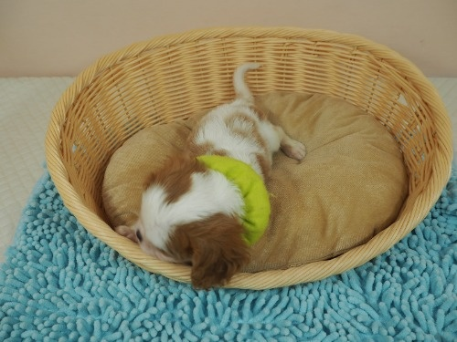 キャバリアの子犬(ID:1255511354)の4枚目の写真/更新日:2020-04-30