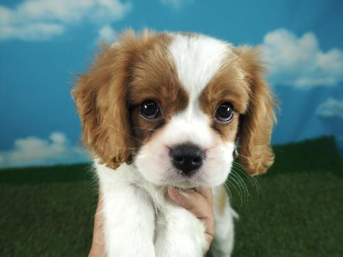 キャバリアの子犬(ID:1255511354)の5枚目の写真/更新日:2021-09-16