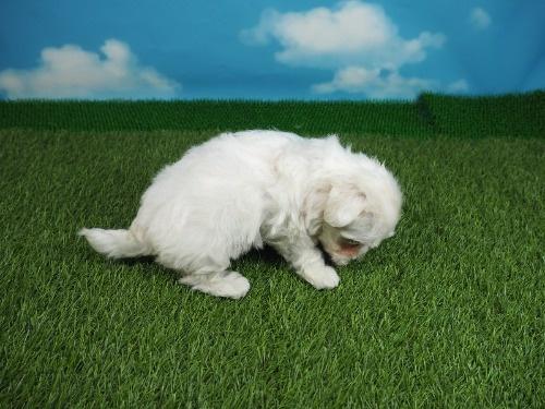 マルチーズの子犬(ID:1255511355)の2枚目の写真/更新日:2021-04-01