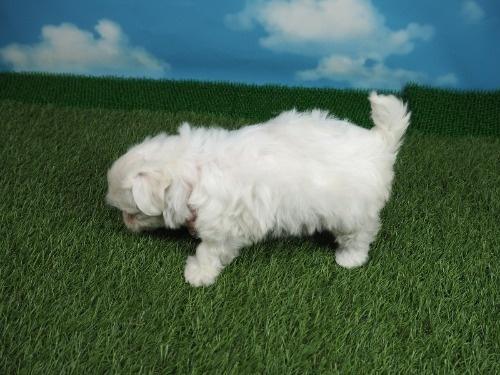 マルチーズの子犬(ID:1255511355)の3枚目の写真/更新日:2021-04-01