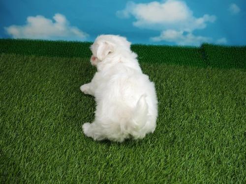 マルチーズの子犬(ID:1255511355)の4枚目の写真/更新日:2021-04-01