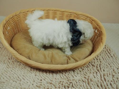 マルチーズの子犬(ID:1255511356)の2枚目の写真/更新日:2021-04-05