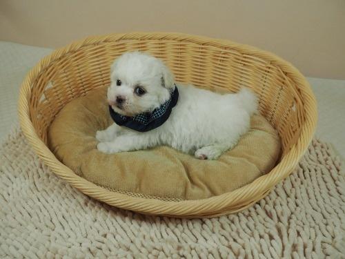 マルチーズの子犬(ID:1255511356)の3枚目の写真/更新日:2021-04-05