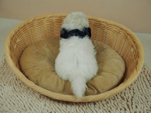 マルチーズの子犬(ID:1255511356)の4枚目の写真/更新日:2021-04-05