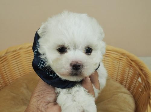 マルチーズの子犬(ID:1255511356)の5枚目の写真/更新日:2021-04-05
