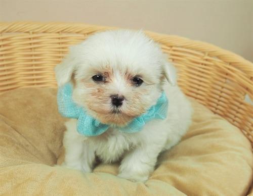 マルチーズの子犬(ID:1255511357)の1枚目の写真/更新日:2021-09-30
