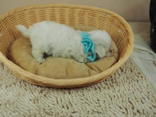 マルチーズの子犬(ID:1255511357)の2枚目の写真/更新日:2018-01-22