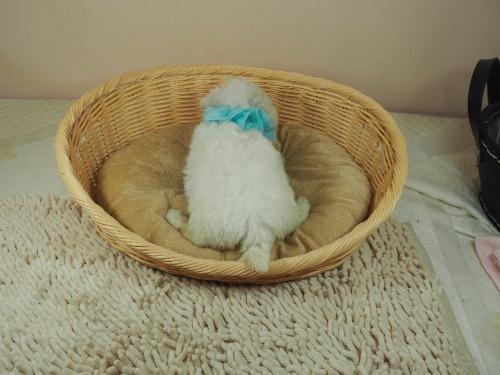 マルチーズの子犬(ID:1255511357)の4枚目の写真/更新日:2021-09-30