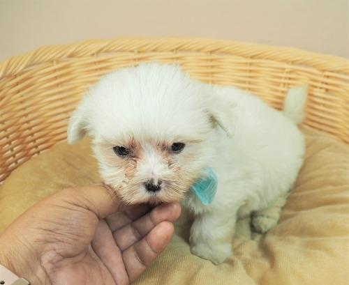 マルチーズの子犬(ID:1255511357)の5枚目の写真/更新日:2021-09-30