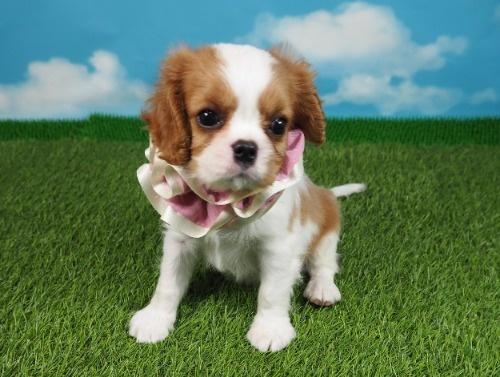 キャバリアの子犬(ID:1255511358)の1枚目の写真/更新日:2018-02-09