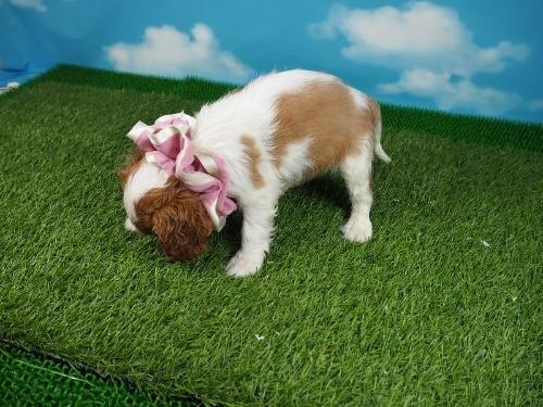 キャバリアの子犬(ID:1255511358)の3枚目の写真/更新日:2018-02-09