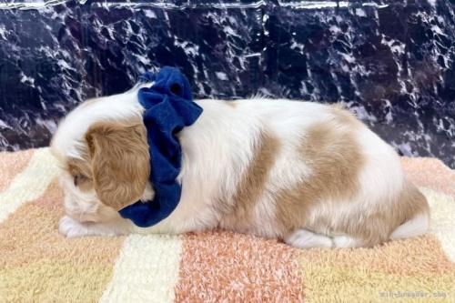 キャバリアの子犬(ID:1255511360)の2枚目の写真/更新日:2021-09-16