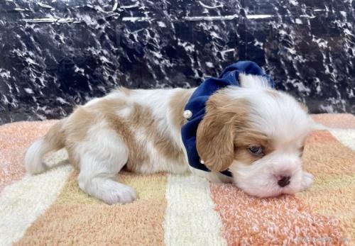 キャバリアの子犬(ID:1255511360)の3枚目の写真/更新日:2021-09-16