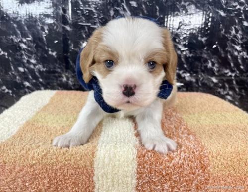 キャバリアの子犬(ID:1255511360)の5枚目の写真/更新日:2021-09-16