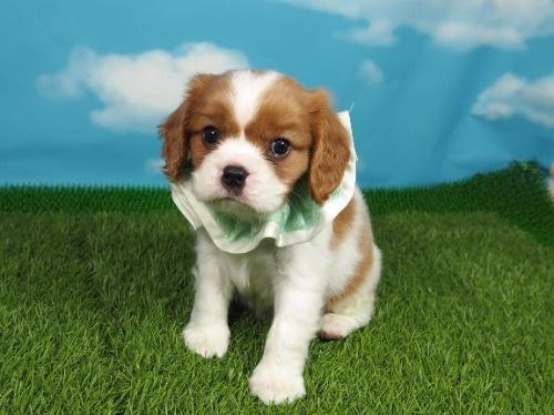 キャバリアの子犬(ID:1255511361)の1枚目の写真/更新日:2018-02-09
