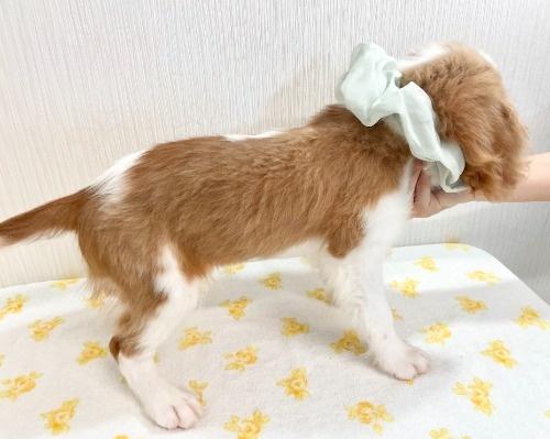 キャバリアの子犬(ID:1255511362)の3枚目の写真/更新日:2019-12-26