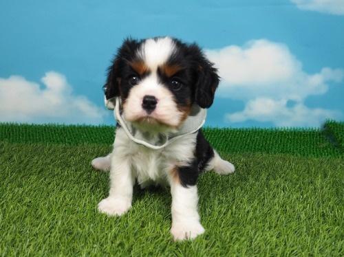 キャバリアの子犬(ID:1255511363)の1枚目の写真/更新日:2018-02-09