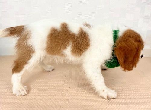 キャバリアの子犬(ID:1255511364)の2枚目の写真/更新日:2020-01-17