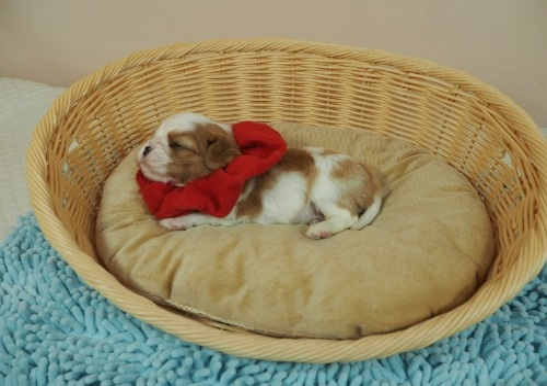 キャバリアの子犬(ID:1255511364)の3枚目の写真/更新日:2018-02-19