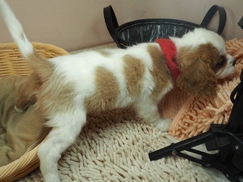 キャバリアの子犬(ID:1255511365)の2枚目の写真/更新日:2018-02-19